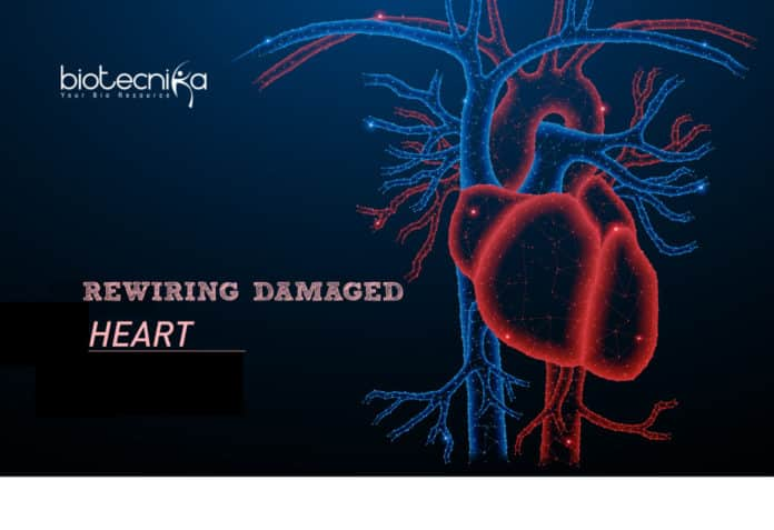 Rewiring Damaged Heart Tissues Via Carbon Nanotube Fibers