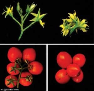 New Crispr Urban Tomatoes