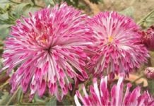 New Variety of Chrysanthemum 'Shekhar'