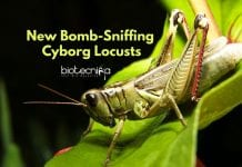 Cyborg Locusts To Detect Explosives - Bomb-Sniffing Cyborg Locusts!
