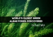 World's Oldest Green Algae Fossil