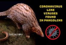 Coronavirus like virus found in pangolin