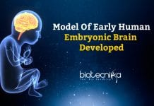 Model of Early Embryonic Brain