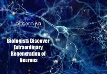 Extraordinary Regeneration of Neurons