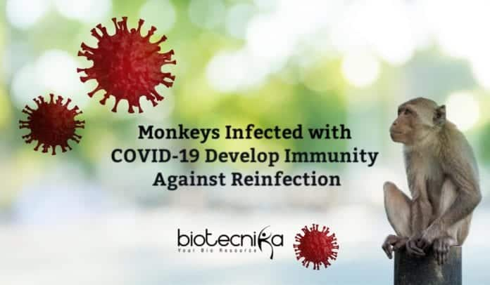 Monkeys infected with Coronavirus