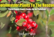 A Super Plant Absorbs Pollution